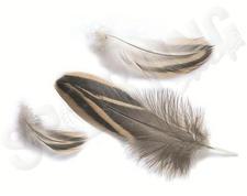Gräsandhona bröstfjäder E-12